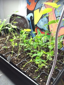 Seeds started at the Bristol Hub flourish as starts of peas, squash, and corn.