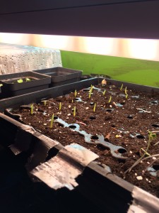 The latest round of seeds started at the Hub have begun to show over the soil.